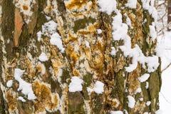 La copertura della corteccia di albero con la muffa e muschio e neve ha strutturato il fondo Fotografia Stock Libera da Diritti