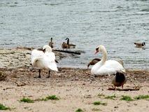 La coppia dei cigni su pulizia della sponda del fiume mette le piume a con le oche di Nilo Immagine Stock Libera da Diritti