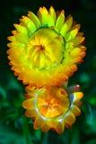 la coppia fiorisce il colore giallo immagine stock