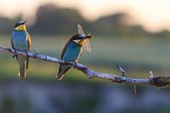 La coppia pranza gli uccelli colorati al tramonto Fotografia Stock Libera da Diritti