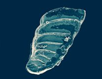 La coquille de foraminifera illustration de vecteur