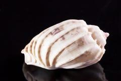 La coquille simple de mer de l'escargot marin solated sur le fond noir Photo libre de droits