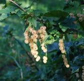 La corinthe de sucre mûrit dans le jardin Photographie stock libre de droits