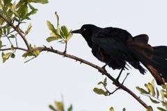 La corneille (corone de Corvus) secouant fait varier le pas Photo stock