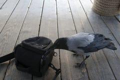 La corneille curieuse ouvre le sac Photo libre de droits