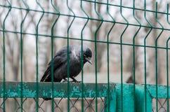 La corneille noire se repose sur la barrière Oiseaux sauvages, parc, protection de la nature photo libre de droits
