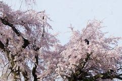 La corneille sur l'arbre de fleurs de cerisier images libres de droits