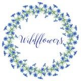 La corona dei fiordalisi fiorisce su un fondo bianco Elemento della decorazione Fotografie Stock
