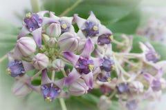 La corona florece el tono dos purpúreo claro Imágenes de archivo libres de regalías