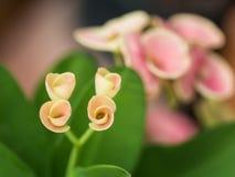 La corona rosada de la floración de las flores de las espinas Fotografía de archivo libre de regalías