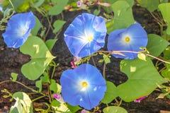 La correhuela púrpura, las flores y los árboles están floreciendo Foto de archivo