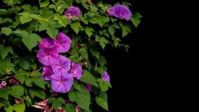 La correhuela púrpura rosada florece con climbi verde de las vides de las hojas Foto de archivo libre de regalías