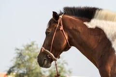 La corsa di cavalli, mangia l'erba durante la pratica su base giornaliera Immagine Stock