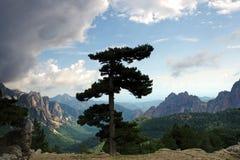 La Corse l'arbre de pin de Lariccio Images libres de droits