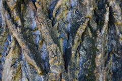 La corteccia è coperta di muschio Fotografia Stock