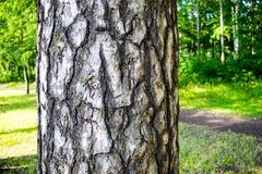 La corteccia del pino Fotografie Stock Libere da Diritti