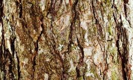 La corteccia del pino Immagini Stock Libere da Diritti