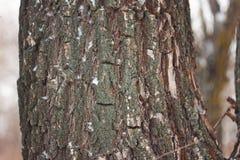La corteccia dell'albero fotografia stock libera da diritti