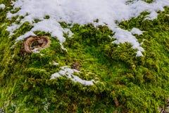 La corteccia di albero coperta di muschio e neve e un knothole assomiglia ad un occhio fotografie stock libere da diritti