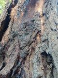 La corteccia di albero ha strutturato il fondo, paesaggio della natura fotografia stock libera da diritti