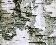 La corteccia di betulla Fotografie Stock
