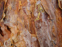 La corteccia di giovani pini è bella con le piccole goccioline di resina immagine stock libera da diritti