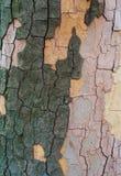 La corteccia di un albero del sicomoro Fotografie Stock Libere da Diritti