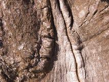 La corteccia di un albero di quercia Immagini Stock