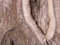 La corteccia di un albero di quercia Fotografia Stock