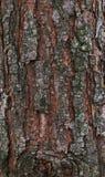 La corteccia di un pino della foresta Fotografie Stock