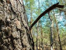 La corteccia di una fine del pino su Fotografia Stock Libera da Diritti
