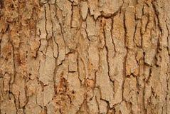 La corteccia di una struttura dell'albero fotografie stock libere da diritti