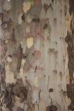 La corteccia di vecchio albero di acero Fotografia Stock Libera da Diritti