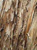 La corteccia di vecchio albero di gomma Immagine Stock