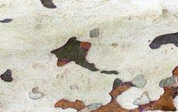 La corteza de árbol de la textura del sicómoro Foto de archivo