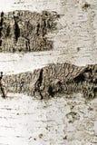 La corteza de la textura del abedul Fondo de madera para el diseño Fotos de archivo