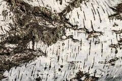 La corteza de la textura del abedul Fondo de madera para el diseño Foto de archivo