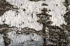La corteza de la textura del abedul Fondo de madera para el diseño Foto de archivo libre de regalías
