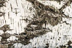 La corteza de la textura del abedul Fondo de madera para el diseño Imagen de archivo libre de regalías