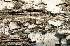 La corteza de la textura del abedul Fondo de madera para el diseño Fotografía de archivo libre de regalías