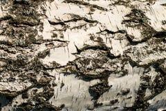 La corteza de la textura del abedul Fondo de madera para el diseño Fotos de archivo libres de regalías