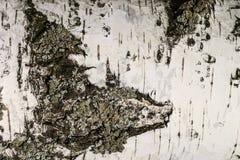 La corteza de la textura del abedul Fondo de madera para el diseño Imagenes de archivo