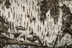 La corteza de la textura del abedul Fondo de madera para el diseño Imagen de archivo