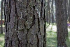 La corteza de los árboles de pino en el parque del invierno imagen de archivo libre de regalías