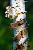 La corteza de la peladura de un tronco de árbol de abedul con un fondo verde Foto de archivo
