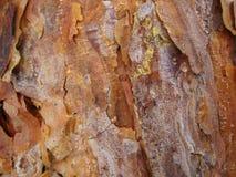 La corteza de pinos jovenes es hermosa con las pequeñas gotitas de la resina Imagen de archivo libre de regalías