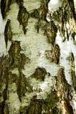 La corteza de un abedul forma la textura inconsútil, fondo natural, cierre Foto de archivo