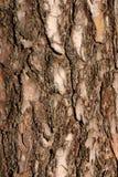 La corteza de un pino Fotografía de archivo libre de regalías