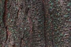 La corteza del árbol con los riñones Foto de archivo libre de regalías