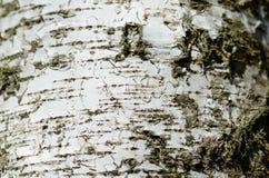 La corteza del árbol de abedul como fondo Imagenes de archivo